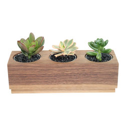"Crassula, Sedum and Aeonium- 3"" Domestic Hardwood Potted Cactus and Succulents - Walnut hardwood provides a great option when it come to planters. Straight grain and a color that varies from light brown to dark chocolate brown is definitely something you must consider. To present you with a stylish piece for your home or office we have combined a 'Jade Plant'  an 'Aeonium sunburst'  and a 'Jelly Bean Plant'. Place indoors under bright light. Water only twice a month and avoid spilling when watering. Tung oil or beeswax will help extend the lifespan of your planter and maintain a shiny look."