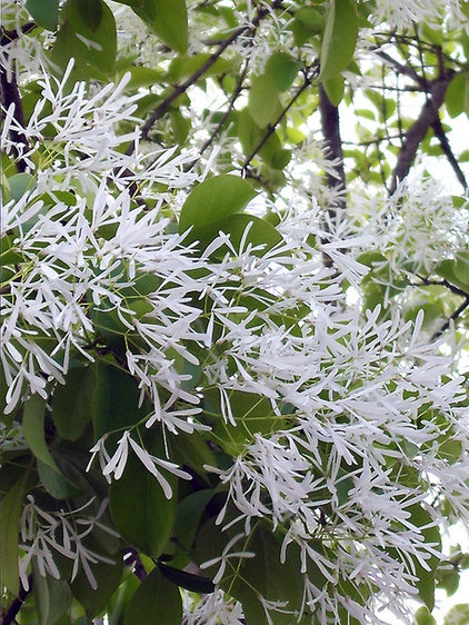 Chinese fringe tree (Chionanthus retusus)