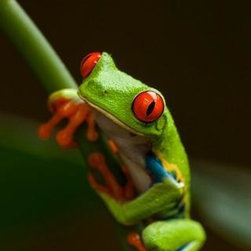 Wallmonkeys Wall Decals - Red-eyed Tree Frog in Costa Rica Wall Mural - 18 Inches H - Easy to apply - simply peel and stick!