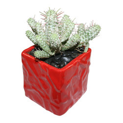 "MODgreen - Euphorbia m. - 4"" Ceramic Potted Cactus and Succulents - Euphorbia mammilaris variegata is a South African Plant that is very well known as 'Indian Corn Cob'. Water once a month and place under bright light. With this design MODgreen has put a new twist to the standard ceramic cube planter by giving them a corrugated texture that make these beautiful pots stand out above the rest."