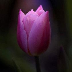 """Pink"" Artwork - Macro shot of Tulip on black"