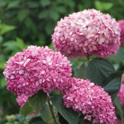 Proven Winners Invincible Spirit ColorChoice Hydrangea - Adding freshly cut flowers from your garden (or your nearest florist) will brighten your home for spring.