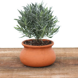 """Frontgate - Lavendar Tree in Clay Washpot - Live lavender plant. Arrives in a clay washpot. Expertly shaped and pruned. Let soil dry out slightly before watering. Makes a lovely housewarming or hostess gift. Infuse your living space with fresh, clean scent of our Lavender 4"""" in Clay Washpot. Resistant, even repellent to most insects, this flowering plant has a unique gray, blue and green color, and can be used in cooking or baking. Lavender likes a very bright an airy location in your home and thrives if given periodic vacations outdoors out of direct afternoon sunlight.  .  .  .  .  . Made in the USA."""