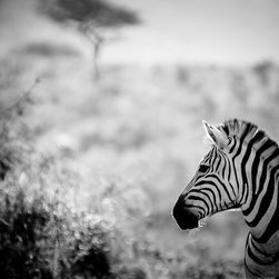 Zebra Fine Art Black and White Photograph - Zebra in South Africa. Fine art wildlife photograph in black and white. Size of paper is 16x20 with a small white border for ease of framing.