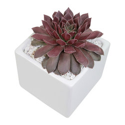 "MODgreen - Sempervivum. - 4"" Ceramic Potted Cactus and Succulents - This sempervivum know as Pacific Devil's Food is native to Southern Europe. This cultivar presents a dark red rosette which will nicely complement any interior design."