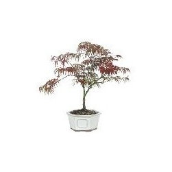 Japanese Maple Weeping Lace Leaf Bonsai Tree - age: 5 years