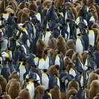 Wallmonkeys Wall Decals - King Penguin Colony on South Georgia Island Wall Mural - 52 Inches W x 35 Inches - Easy to apply - simply peel and stick!