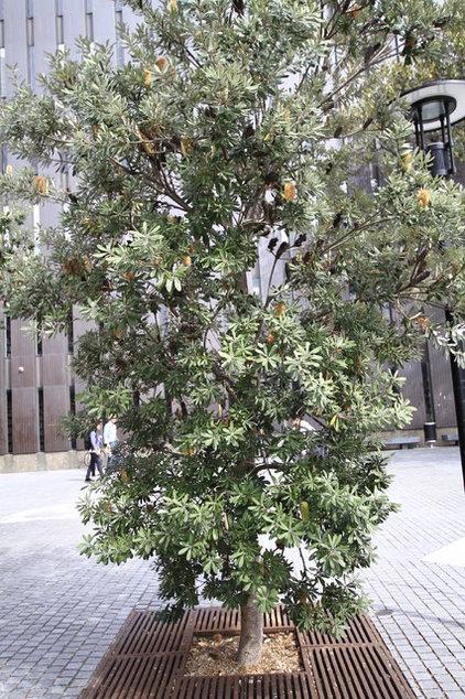 Banksia integrifolia 05.JPG