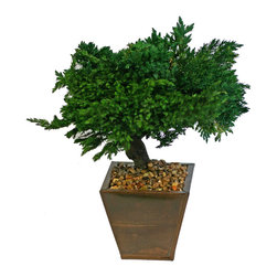 Preserved Traditional Bonsai - This is a great Bonsai for decorating limited space areas or just that small space on your desk. Enjoy the serenity of bonsai without waiting years to manicure and maintain a live bonsai.