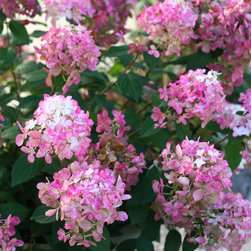 Fire Light™ Hardy Hydrangea - Fire Light™ flowers up close