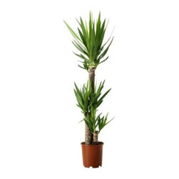 YUCCA ELEPHANTIPES potted plant - Product dimensions
