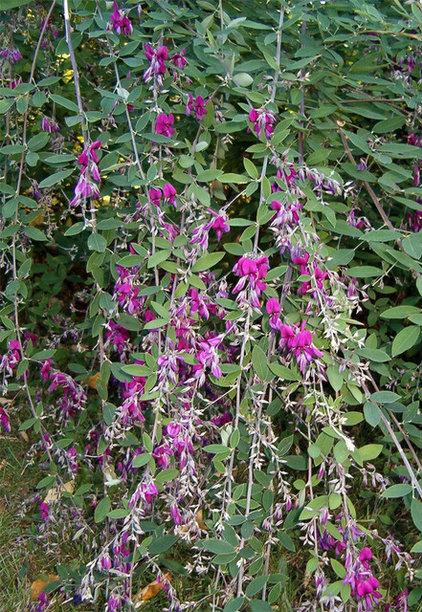 Bush clover (Lespedeza thunbergii)