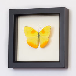 Bug Under Glass - Real Framed Butterfly Clouded Sulphur - Bring a bright bolt of beauty into your home with this professionally mounted, farm-raised Sulphur Butterfly. Its bold yellow color is derived from its food source, and will bring a sunniness to your wall, in any room you hang it in.