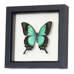 Bug Under Glass - Sea Green Framed Swallowtail Butterfly Display - A real framed butterfly mounted in a gallery frame with UV conservation glass.  The Sea Green Swallowtail (Papilio lorquinanus) flies in tropical Indonesia and has a stunning sea green color.  Hand crafted in Sonoma County California by an entomologist using eco friendly farm raised insects.  Comes with gift box and natural history about specimen.