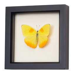 Bug Under Glass - Real Framed Clouded Sulphur Butterfly - Bring a bright bolt of beauty into your home with this professionally mounted, farm-raised Sulphur Butterfly. Its bold yellow color is derived from its food source, and will bring a sunniness to your wall, in any room you hang it in.