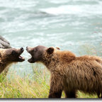 YGC - 'Sibling Rivalry - Wild Bears of Alaska' Gallery-wrapped Canvas Art - Artist: Unknown Title: Sibling Rivalry - Wild Bears of Alaska Product type: Gallery-wrapped photography canvas art