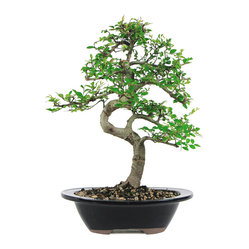 Chinese Elm Bonsai Tree,  Medium
