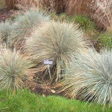 Blue oat grass (Helictotrichon sempervirens)