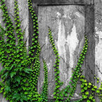 Wallmonkeys Wall Decals - Old Wall with Ivy Wall Mural - 60 Inches H - Easy to apply - simply peel and stick!