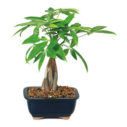 Brussel's Bonsai - Money Tree Bonsai Tree - Beginning garden enthusiasts will always welcome a money tree into their home. The braided bonsai is an iconic symbol of good fortune and does well in offices with a variety of lighting conditions. It's a thoughtful gift for someone starting a new job or moving into a new home.
