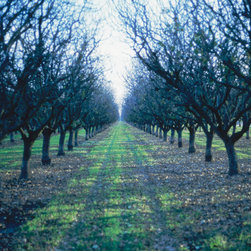 """Almond Grove - C-print, unmanipulated transparency film image, 20""""x30"""" image size, 24""""x34"""" paper size, edition of three c-prints, edition of three pigment prints. Signed, numbered and captioned in ink on the verso."""