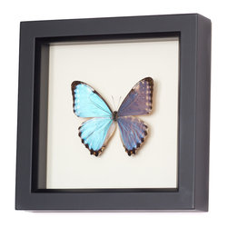 Bug Under Glass - Blue Morpho Portis Species Butterfly - Real farm-raised butterfly professionally preserved in a museum shadowbox. Comes with gift box, natural history information about the species and information on how butterfly farming helps preserve rainforest. Made in the USA.