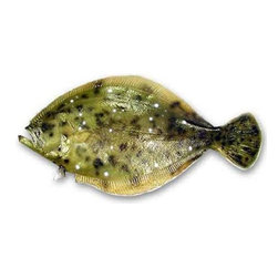 "Troy Denson - 35"" Flounder Half Mount Fish Replica - The Flounder. Who would think this would make a great mount? We get more double takes and complementary remarks on this great 35-inch half mount of a Flounder than just about anything else in our inventory. It is very interesting and true-to-life. You want to sharpen up your fillet knife and knock off his sides. This is a great addition to your collection."