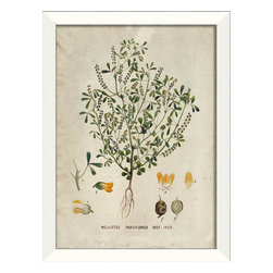 The Artwork Factory - Melilotus Parviflorus Framed Artwork - Light up your wall with this fresh botanical print, elegantly framed in white wood. Melilotus Parviflorus, also known as sweet clover, is gorgeously depicted in full detail on this vintage print. It will add a touch of greenery and style to your decor.