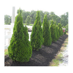 Emerald Green Thuja - Enjoy green (and fight pollution) year-round with an Emerald Green Thuja. Extremely hardy, this evergreen stops growing at about 10 feet, making it ideal for small gardens and urban decks.
