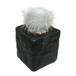 "MODgreen - Mammilaria h. - 4"" Ceramic Potted Cactus and Succulents - M. hahniana is endemic to Mexico and it is one of the most popular and beautiful mammilarias. Water once a month and place under bright light. With this design MODgreen has put a new twist to the standard ceramic cube planter by giving them a corrugated texture that make these beautiful pots stand out above the rest."