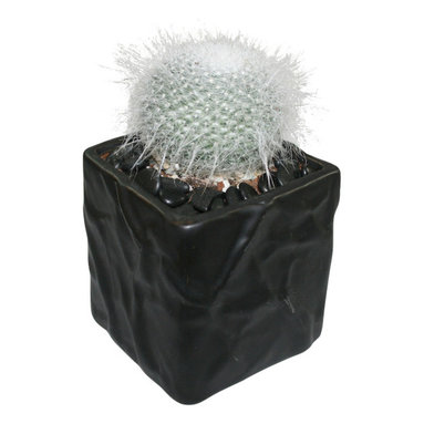"""MODgreen - Mammilaria h. - 4"""" Ceramic Potted Cactus and Succulents - M. hahniana is endemic to Mexico and it is one of the most popular and beautiful mammilarias. Water once a month and place under bright light. With this design MODgreen has put a new twist to the standard ceramic cube planter by giving them a corrugated texture that make these beautiful pots stand out above the rest."""