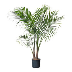 RAVENEA Potted plant - Potted plant, Majesty palm
