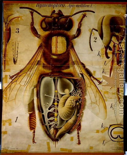 Anatomy Of The Honey Bee, No.13, Pfurtschellers Zoological Wall Chart traditional-artwork