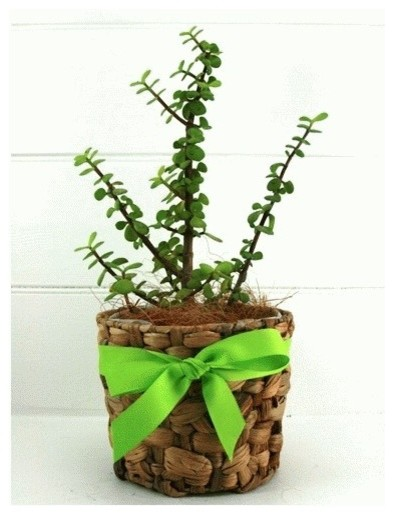 Send a jade money tree gift contemporary plants by for Indoor decorative live plants
