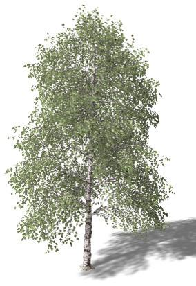 Birch Tree contemporary-landscape