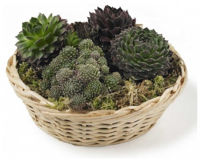 Basket of Succulents traditional-plants