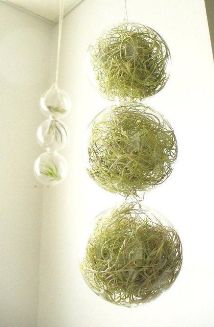 Spring Green 3 Globes Filled With Airplants by SASSY spaces modern indoor pots and planters
