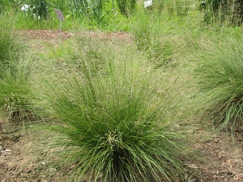 Prairie dropseed as a midwestern native ornamental grass for Ornamental prairie grass