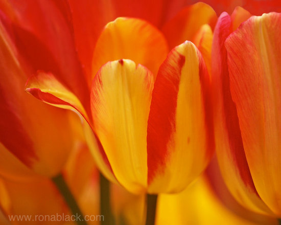 Yellow and Red Striped Tulips Art Print -