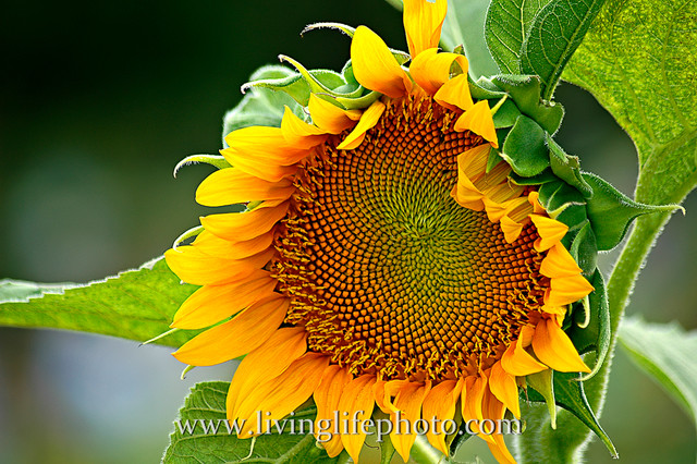 Giant Sunflower traditional-artwork