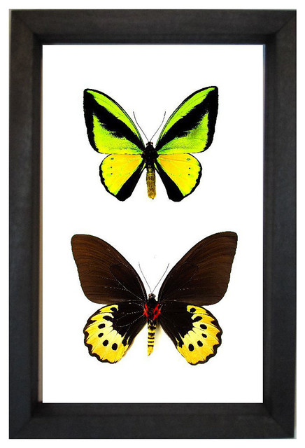 Ornithoptera Goliath Butterfly transitional-artwork