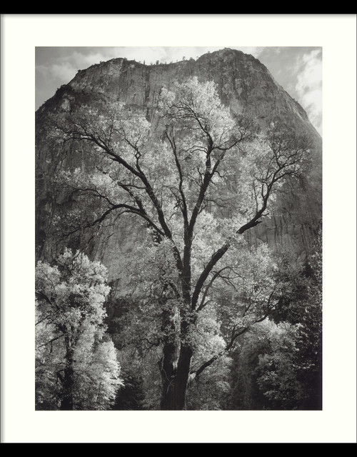 Autumn Tree Against Cathedral Rocks, Yosemite Framed Print by Ansel Adams traditional-prints-and-posters