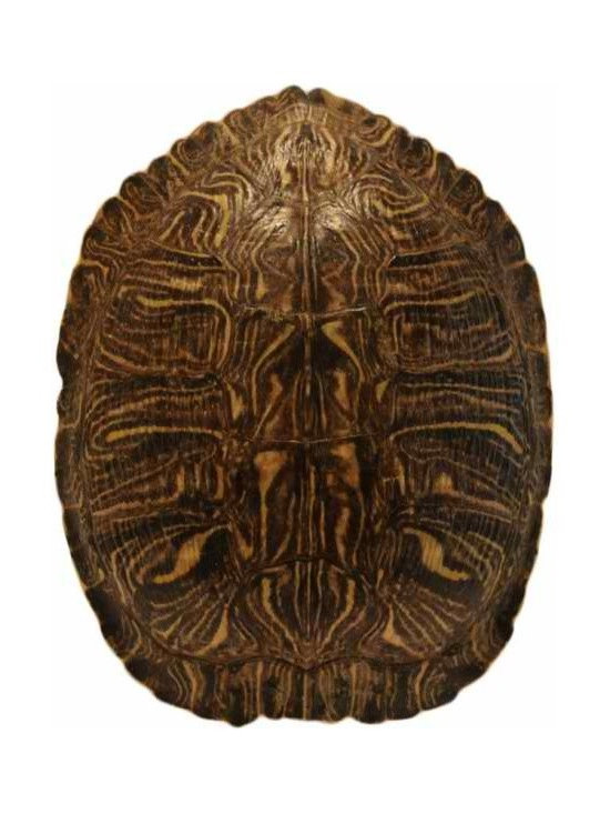 Tortoise Shell - A beautiful tortoise shell on stand. Great addition to your cabinet of curiosities.