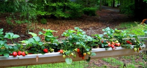 An interesting way to grow strawberries for Strawberry garden designs
