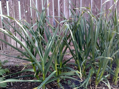 Does this garlic look like it s almost ready