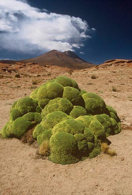 Azorella compacta.jpg landscape