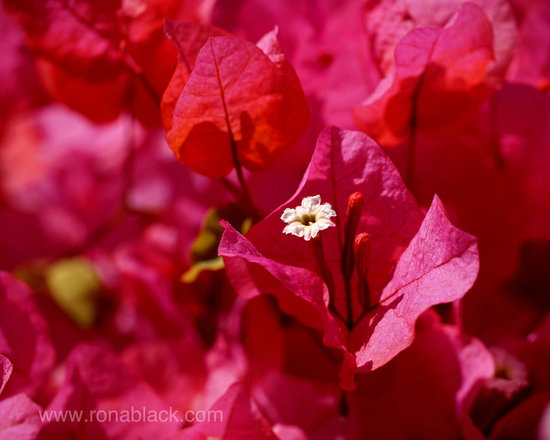 Electric Pink Bougainvillea Art Print by Rona Black -