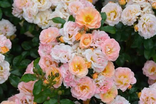 Peach Drift Rose In Summer 14 At The New York Botanical