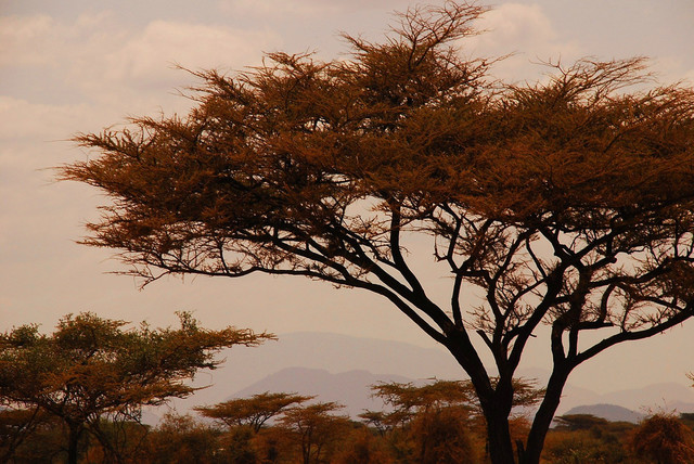 Acacia tree shot in Kenya, July 2007