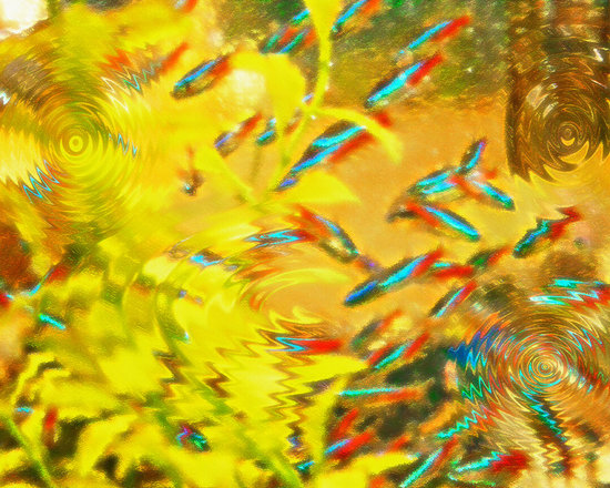 Aquarium Art 7 - Original photograph, taken in the fish aquarium section of a local pet store, has been digitally manipulated, via Photoshop, giving it a textured, painterly and surreal effect and feeling. The ripplling effect contributes to the sense of water, yet in a way that is out of the ordinary, almost abstract, especially with the small school of neon tetras darting in and out.  ARTWORK by STEVE OHLSEN